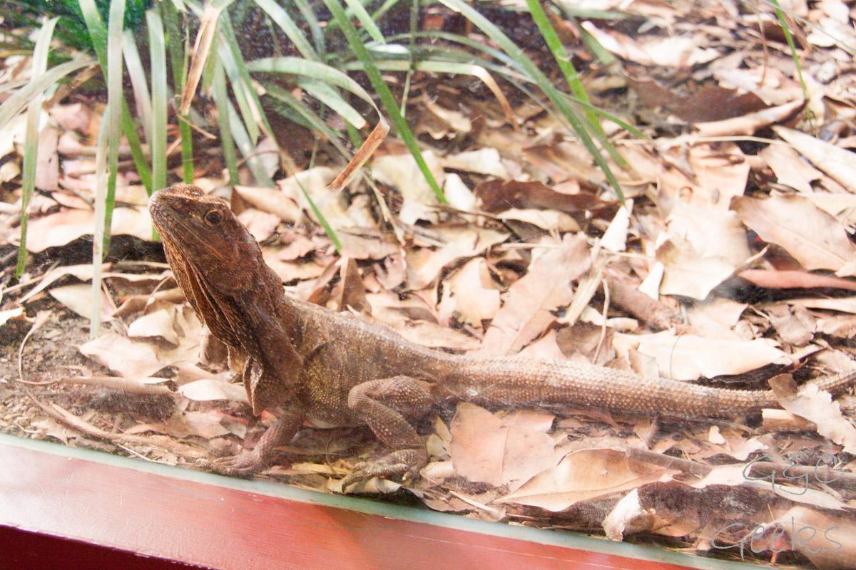 Wildlife Sydney Zoo Lezard