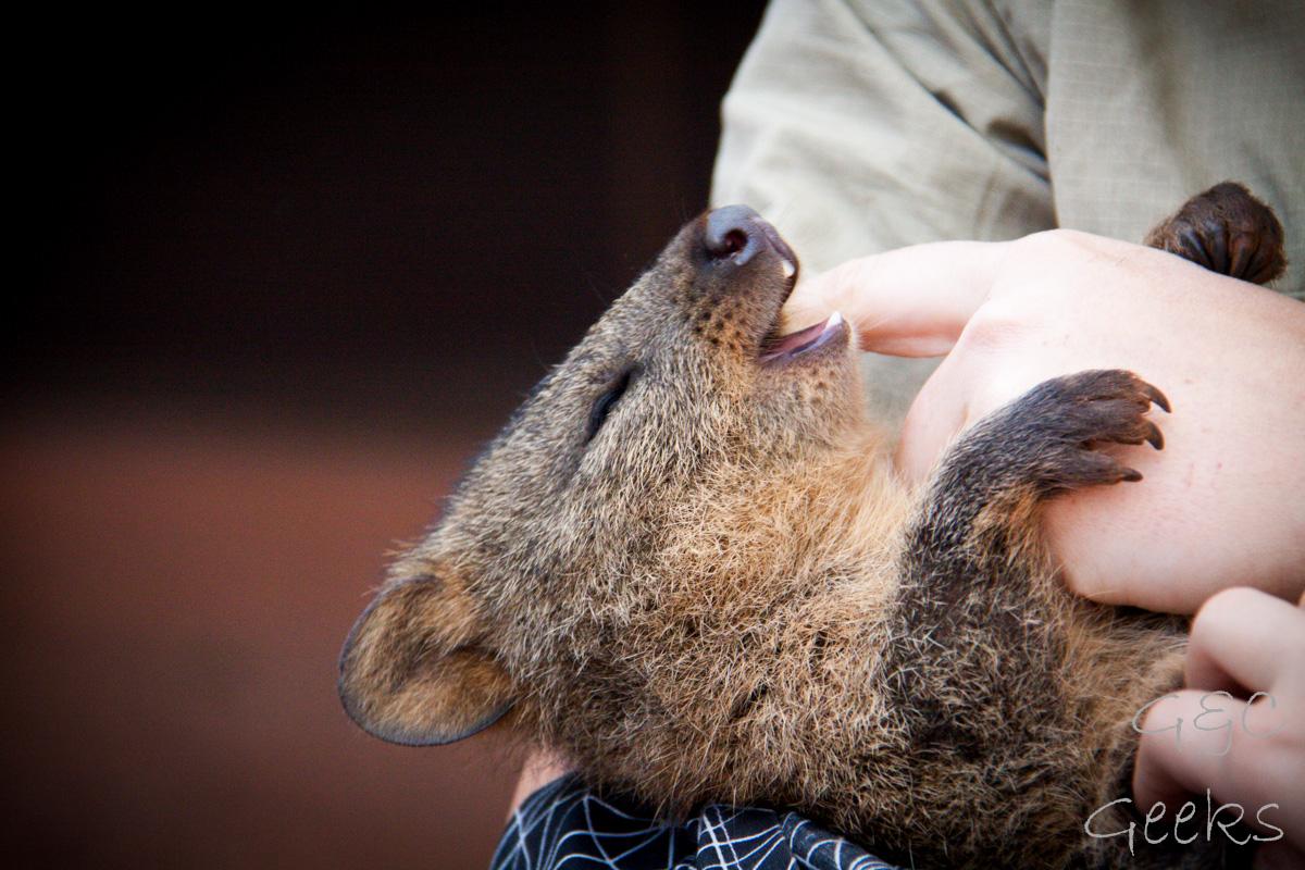 Wildlife Sydney Zoo Quokka 2