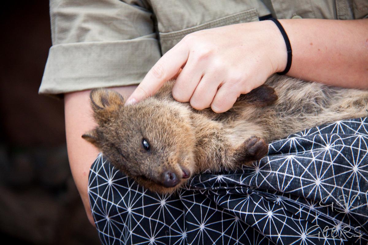Wildlife Sydney Zoo Quokka 3