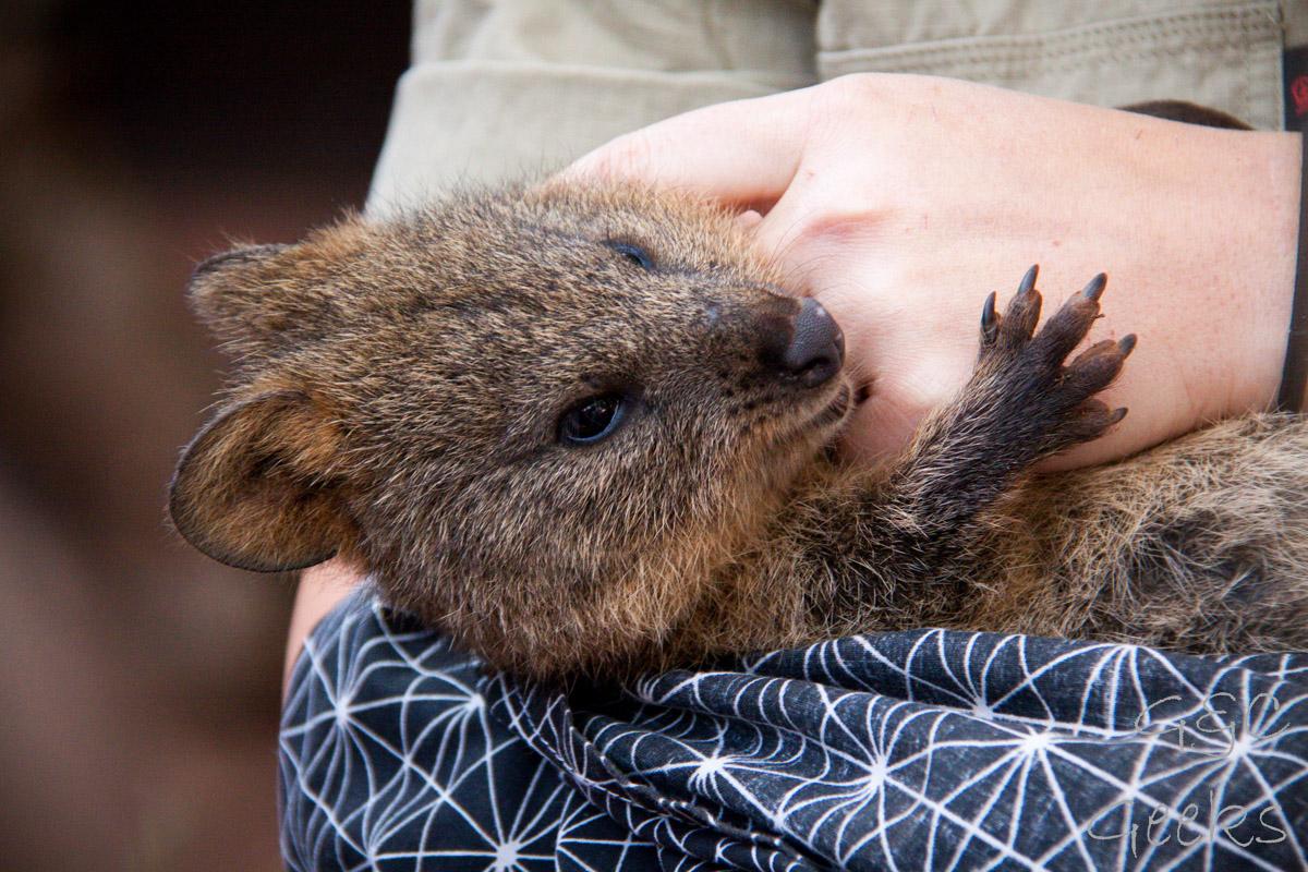 Wildlife Sydney Zoo Quokka