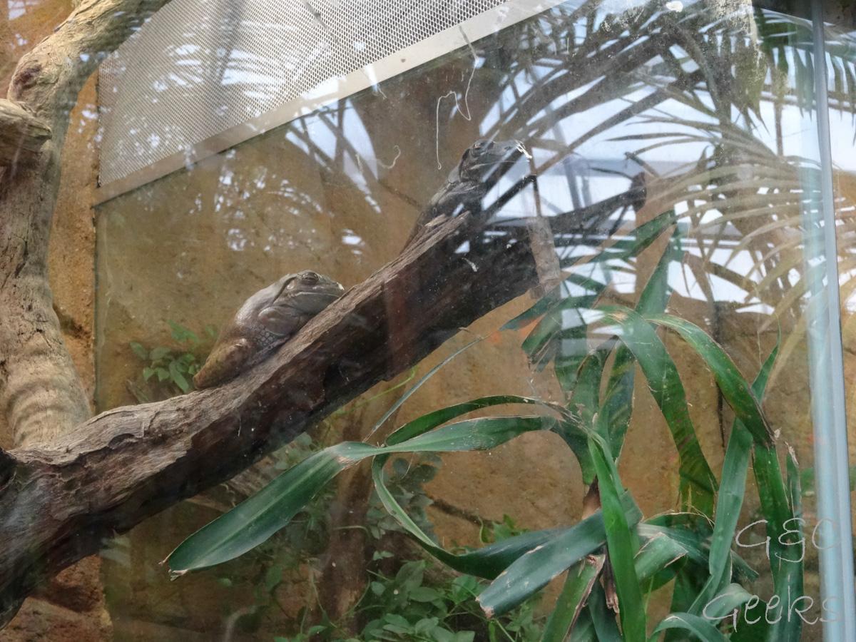 Wildlife Sydney Zoo crapaud