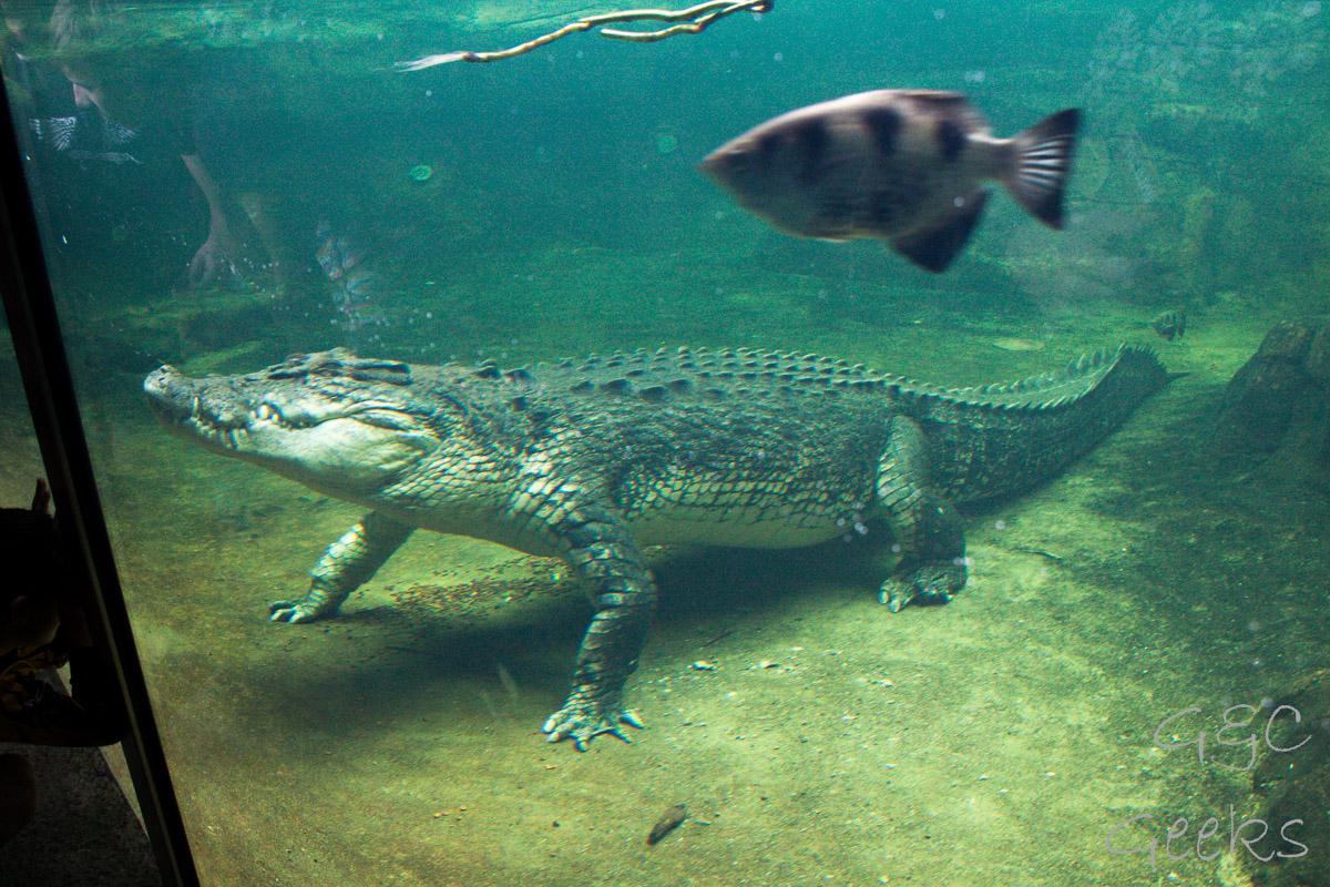 Wildlife Sydney Zoo crocodile 4
