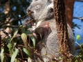 Wildlife Sydney Zoo Koala 4