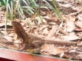 Wildlife Sydney Zoo Lezard
