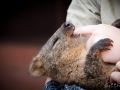 Wildlife Sydney Zoo Quokka 2