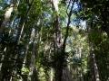 arbres hauts kondalilla falls