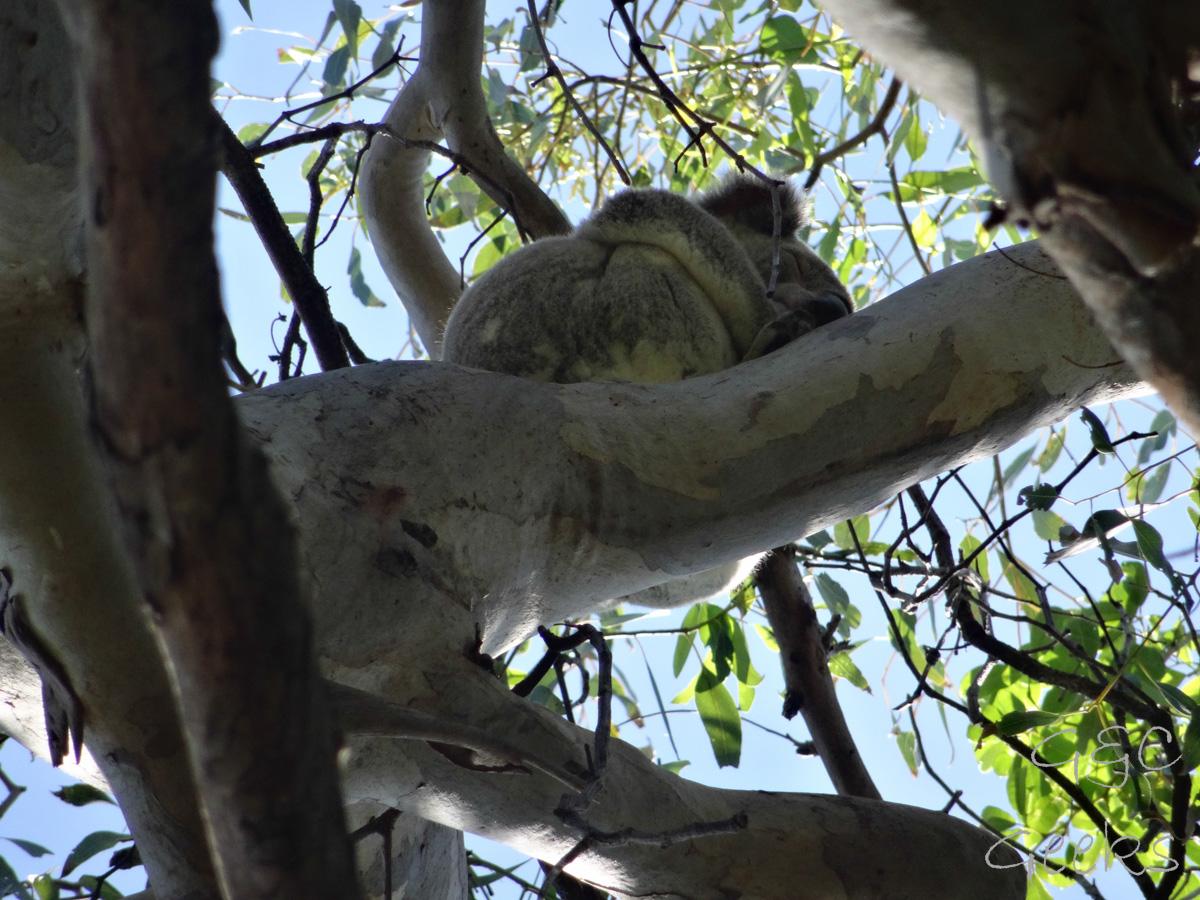 koala dans un arbre 2 noosa