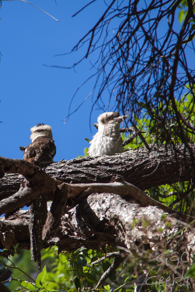 kookaburra noosa