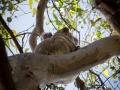 koala dans un arbre 5 noosa