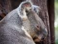 lone pine koala sanctuary protrait koala