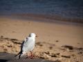 mouette watson beach